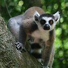 Ringtail Lemur Staring by Jane McDougall