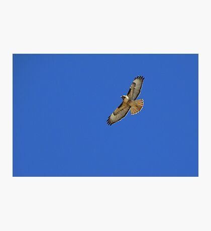 Red-tailed Hawk ~ Kiteing   Photographic Print