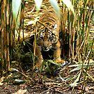 Crouching Tiger - Hidden Cub by Sandra Chung