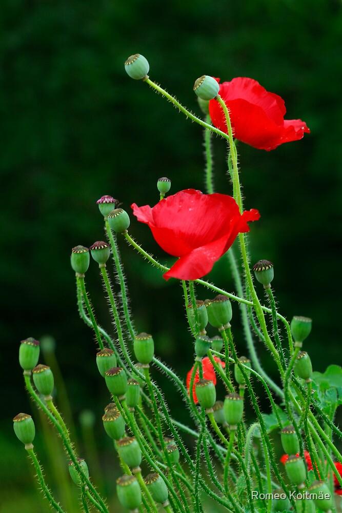 Papaver Rhoeas flowers by Romeo Koitmäe