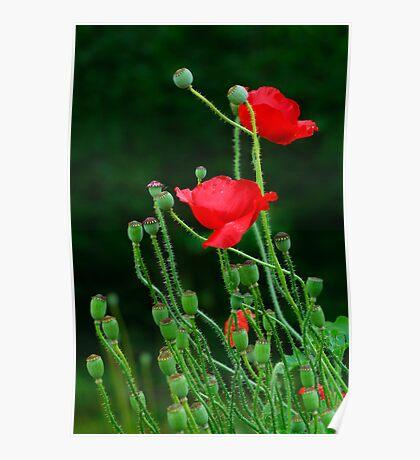Papaver Rhoeas flowers Poster