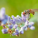 Hover fly on lavender - efef59a38f544cf79445844db6ea90e9 by Thomas Tolkien
