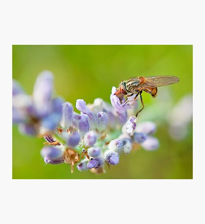 Hover fly on lavender - efef59a38f544cf79445844db6ea90e9 Photographic Print