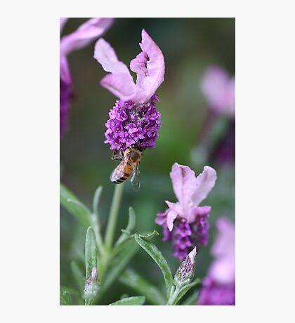 Bee Lavender Photographic Print
