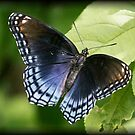 Black Swallowtail Butterfly by Dennis Cheeseman