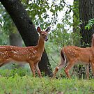 Twin Fawns by barnsis