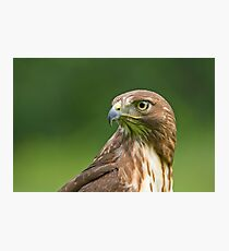 Red-Tailed Hawk  Photographic Print