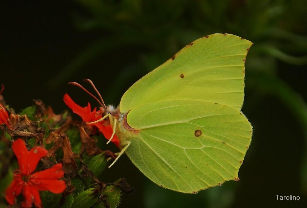 Yellow winged butterfly by Tarolino