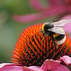 Busy bumblebee on a coneflower by cagunique