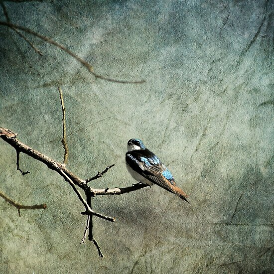 Tree Swallow... by Karen  Helgesen