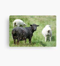 Ba Ba Black sheep  Metal Print