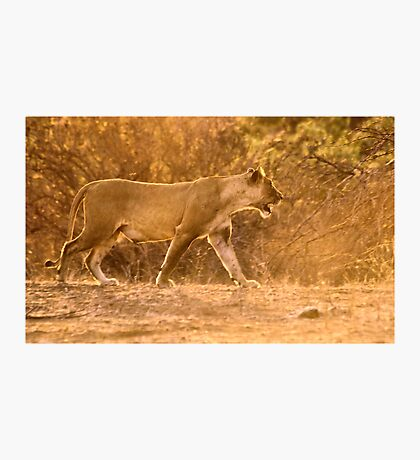 THE LIONESS - in full Sunset charge Photographic Print