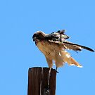 Redtail Hawk by Sherry Pundt