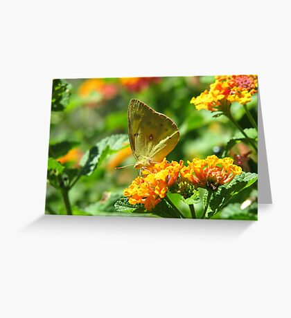 Orange Sulpher Butterfly Greeting Card