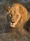 Male Lion, (Panthera leo), Khwai River, Botswana by Neville Jones