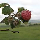 The 1st raspberry by mikequigley