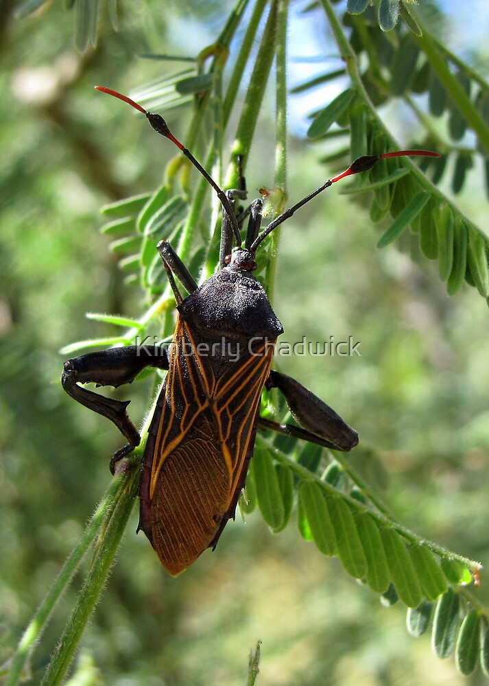 Giant Mesquite Bug by Kimberly Chadwick