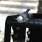 """""""What! No coals yet?"""" White breated Nuthatch by Sherry Pundt"""