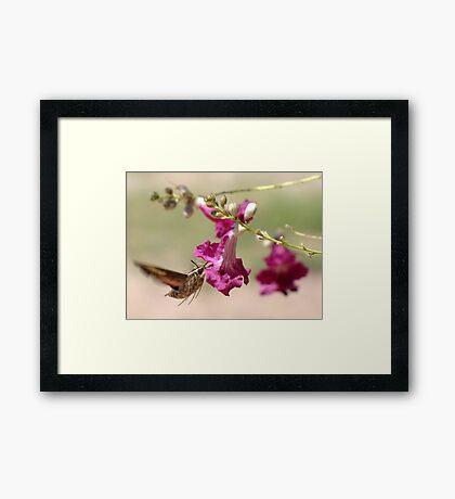 White-lined Sphinx Moth Framed Print