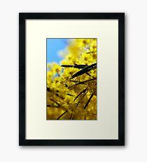 wattle Framed Print