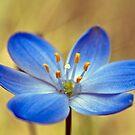 Blue Stars, Chamaescilla corymbosa by col hellmuth