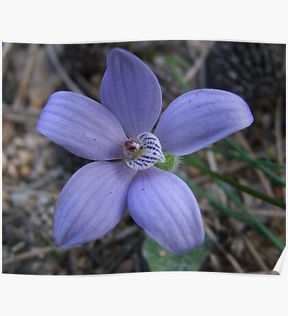 Blue China Orchid Poster