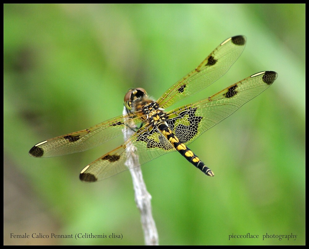 Female Calico Pennant... by pieceoflace