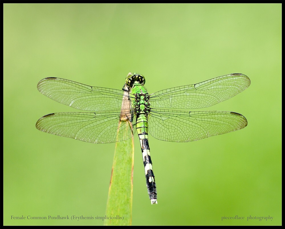 Female Common Pondhawk... by pieceoflace