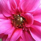 Perfection in Pink - Dahlia Macro by BlueMoonRose