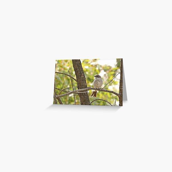 Hooded Robin - female (308) Greeting Card