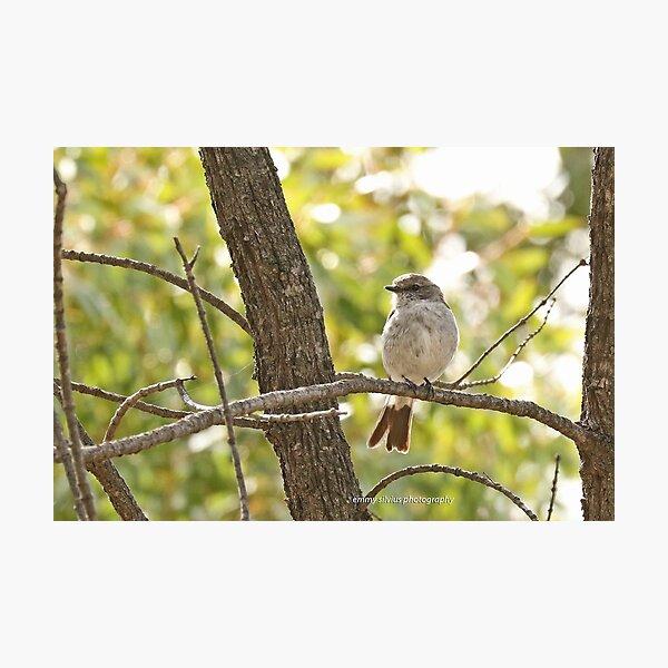 Hooded Robin - female (308) Photographic Print