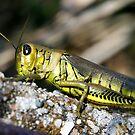 Grasshopper by Karri Klawiter