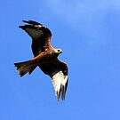 Red Kite Soaring by jennimarshall