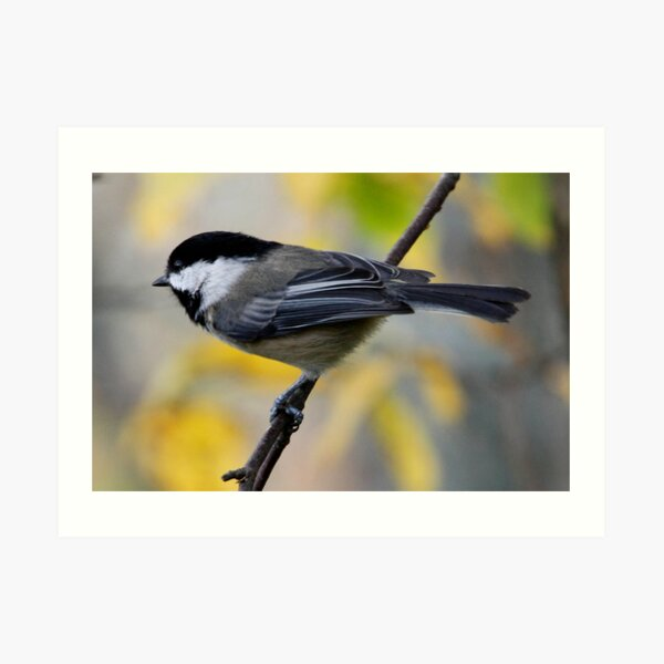 Chickadee in Autumn: Ready to Spring Art Print