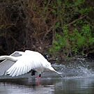 Swans at Ruswarp by dougie1page2