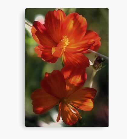Orange Cosmos - In The Shadows Canvas Print