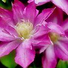 Pink Clematis by Debra Fedchin
