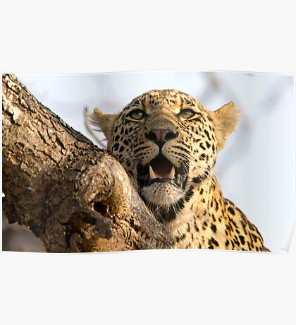 Induna - Young Male Leopard Poster