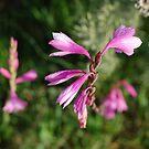 Watsonias near Greyton, RSA by gouldingken