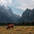 Elk in the Grand Tetons by Daniel Owens