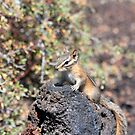 Chipmunk on Lava Rock by steini