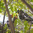 red wattlebird chicks by col hellmuth
