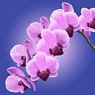 Orchids by trumoxy