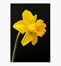 Daffodil Photographic Print