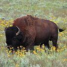 Buffalo in the Meadow by Daniel Owens