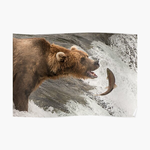 Brown bear about to catch a salmon Poster
