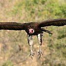 Hooded vulture in flight by Anthony Goldman