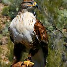 Ferruginous Hawk (Buteo regalis) by David F Putnam