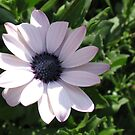 Quiet Beauty - A Dreamy Cape Daisy in Dappled Shade von BlueMoonRose