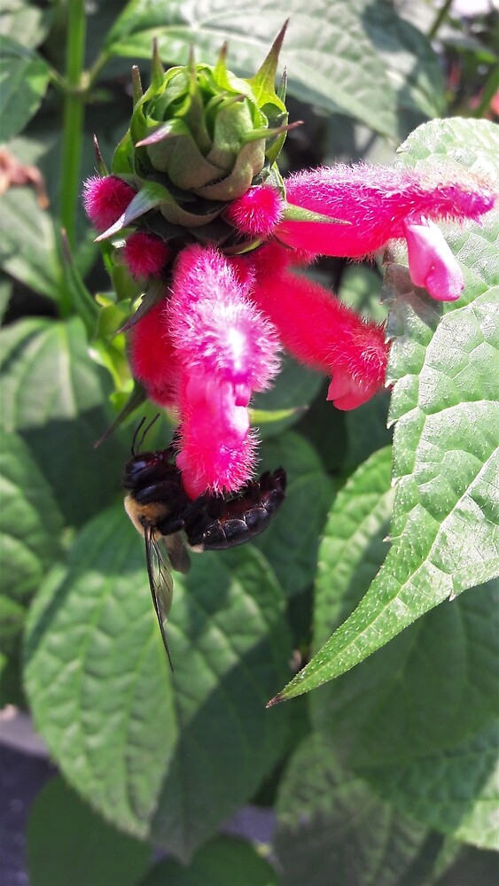 Fuzzy Bolivian Sage...with Bee! by tomeoftrovius